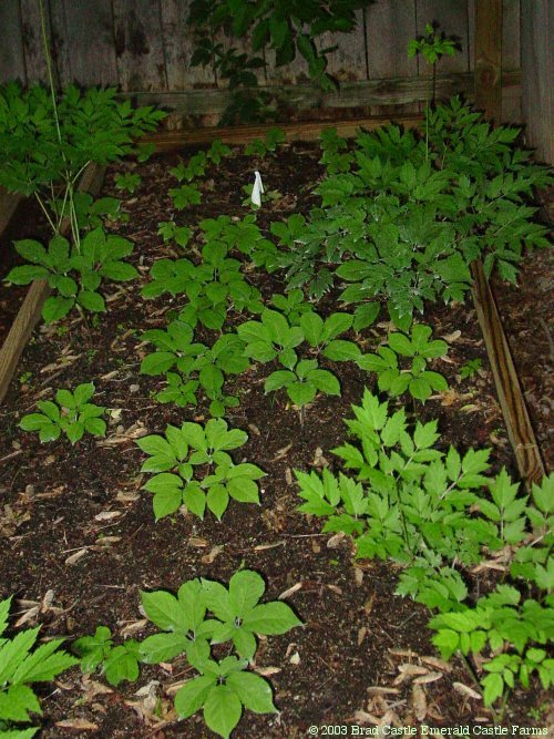 Emerald Castle Farms Article: Growing Ginseng At Home